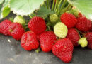 Why strawberries are useful, how to choose delicious and what to cook from this berry